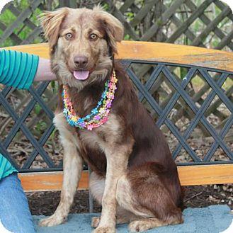 Garfield Heights, OH - Australian Shepherd Mix. Meet Duchess a Dog for Adoption.