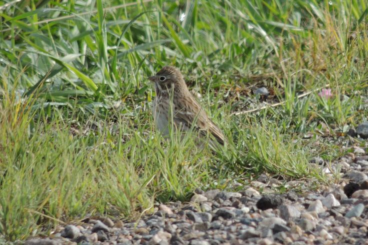Vesper Sparrow ©Steve Frye. Wild Bird Center of Boulder, CO Saturday Morning Bird Walk in Boulder County - September 13, 2014.