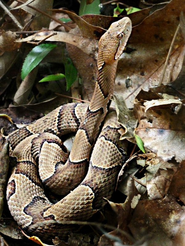 ˚Viperidae : Agkistrodon contortrix - Northern Copperhead