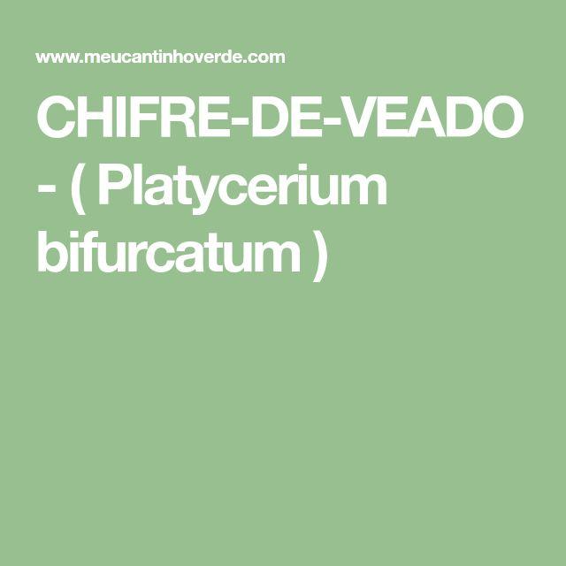 CHIFRE-DE-VEADO - ( Platycerium bifurcatum )