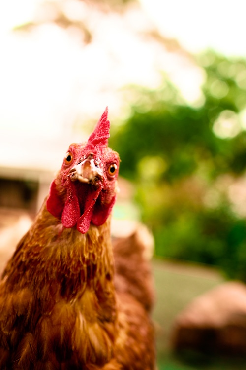 67 Best Paul S Rare Poultry Images On Pinterest Chicken