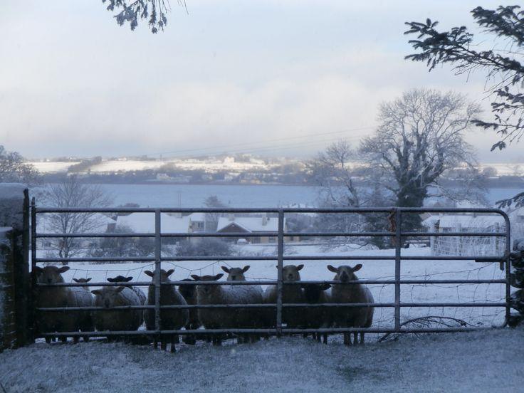 snow, sheep, waiting