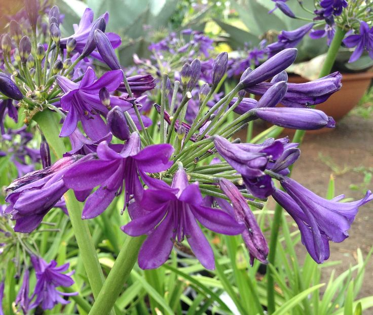 Agapanthus Sugar Plum bred and originating from CND Nursery