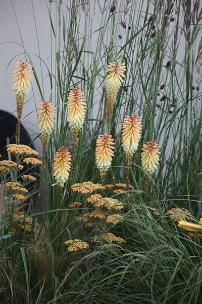 Interesting combination of Kniphofia (Tawny King) and Archillea (Terracotta). This is from an English garden,