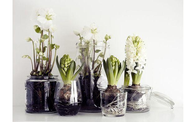 Come far crescere i bulbi in acqua Lökar är vackra att plantera i glas...