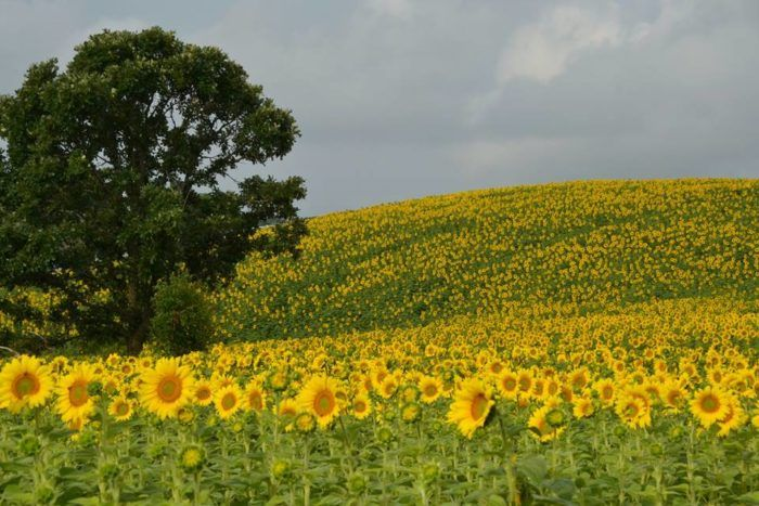 25+ Best Ideas About The Sunflower On Pinterest
