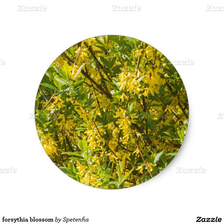 Forsythia blossom classic round sticker