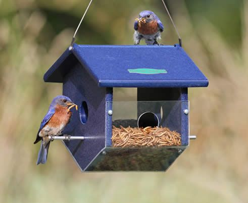 Bring in the blue birds with the Easy View Mealworm Feeder, at Duncraft: About Bluebirds, Bluebirds Nuggets, Bird Feeders, Eastern Bluebirds, View Mealworm, Bluebird Feeder, Beautiful Bluebirds