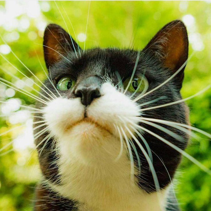 368 Best Images About Wallpaper On Pinterest: Best 20+ Tuxedo Cats Ideas On Pinterest