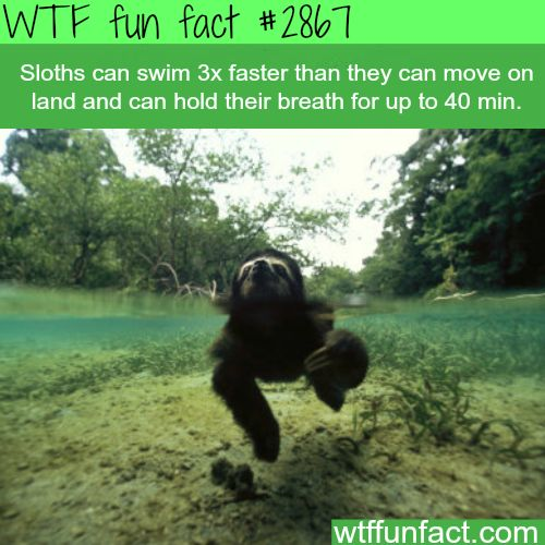 Sloths swimming speed - WTF fun facts