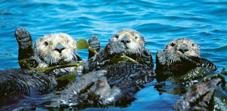 Nordpazifische Seeotter klammern sich an luftgefüllten Seetang. Die kleinsten Meeressäuger haben das dichteste Fell: 150 000 Haare auf einem Quadratzentimeter. Das verhilft den Tauchern zu gutem Auftrieb und ausreichend Wärme auch in kalter Meerestiefe. – Diese Karte hier online kaufen: http://bkurl.de/pkshop-211048 Art.-Nr.: 211048 Nordpazifische Seeotter | Foto: © Frans Lanting | Text: Rolf Bökemeier