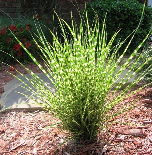 Dwarf Zebra Grass