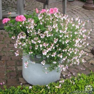 Diascia: soorten kuipplanten met roze bloemen en diascia als potplant of als bodembedekker