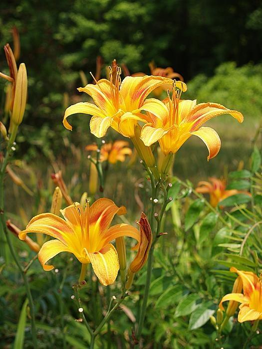Wild Tiger Lilies, Windsor, Virginia
