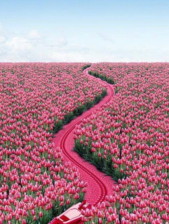 Beautiful Pink Tulip Flower Garden