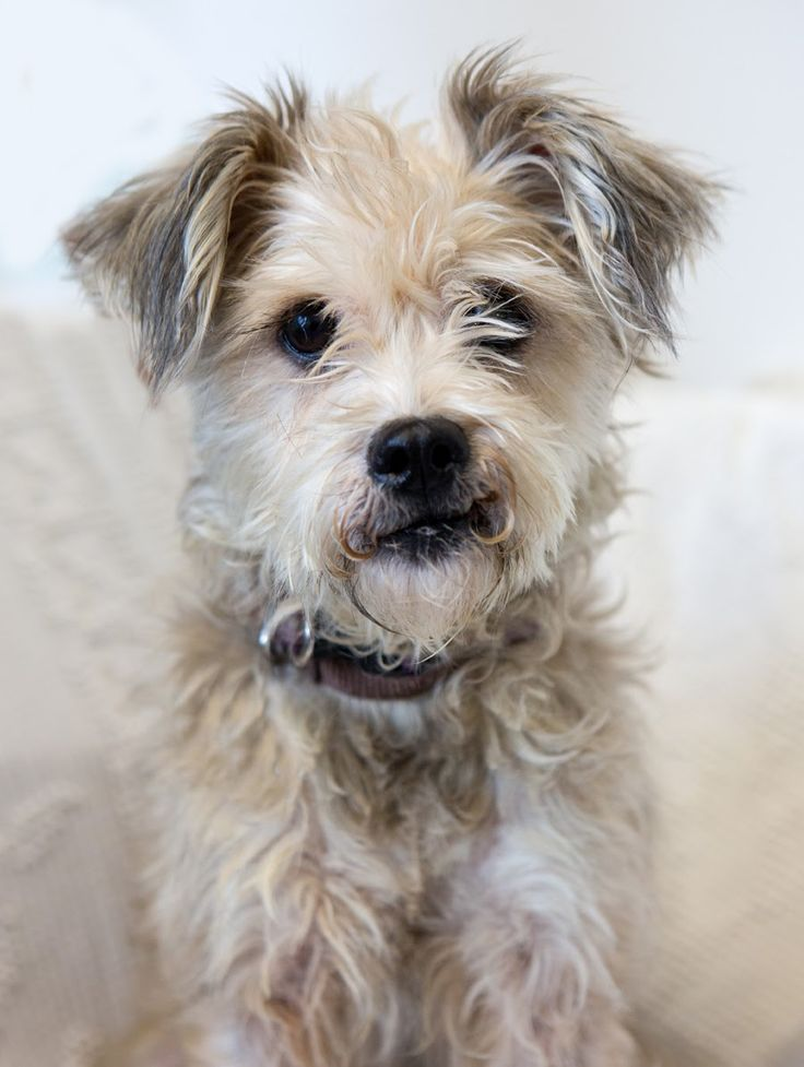 "Shelter Dogs of Portland ""GINGER"" charming mature Terrier"