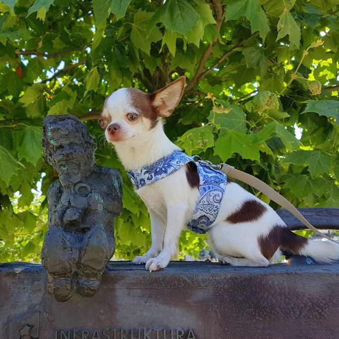Comfortable small dog harness, sewed from natural cotton fabric.