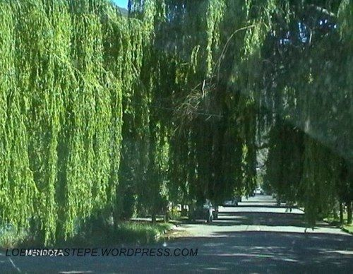 túnel de salgueiro chorão (Salix babylonica),San Rafael, província de Mendoza , Argentina