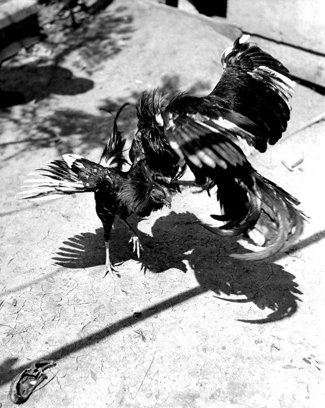 la lucha interminable de la especie mas digna posible: el gallo, representa el poder y la lucha por la supremacía de la granja