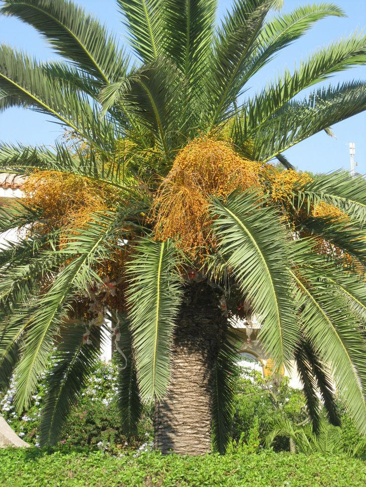 Date palm tree in Melbourne