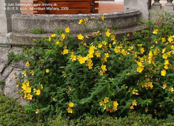 Ľubovník kalíškatý | Hypericum calycinum - Záhradníctvo ABIES
