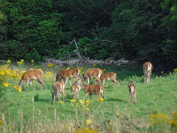 Red Deers grazing in the National Park by EmeraldIslePrintShop