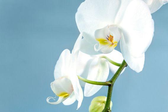 Nieuw in mijn Werk aan de Muur shop: Witte orchidee op een lichtblauwe achtergrond