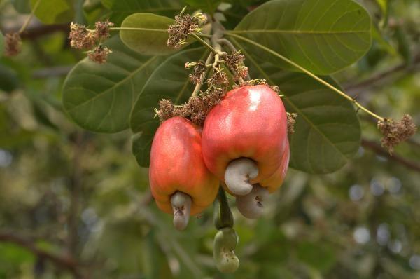 Como plantar caju. O caju é muitas vezes considerado como o fruto do cajueiro (Anacardium occidentale L), mas na verdade trata-se de um pseudofruto, ou seja, de um fruto falso. O que se conhece popularmente com o nome d...