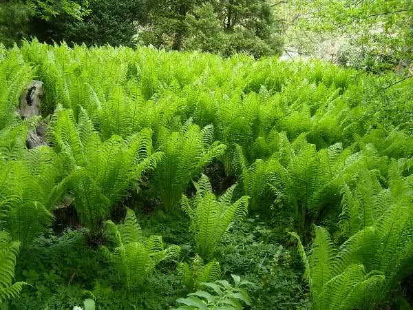 Matteucia strutiopteris (Ostrich fern, spreading, be careful with this in small gardens...)