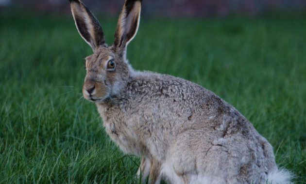 10 Spectacular Animals That Start With The Letter J Jack Rabbit Rabbit Animals