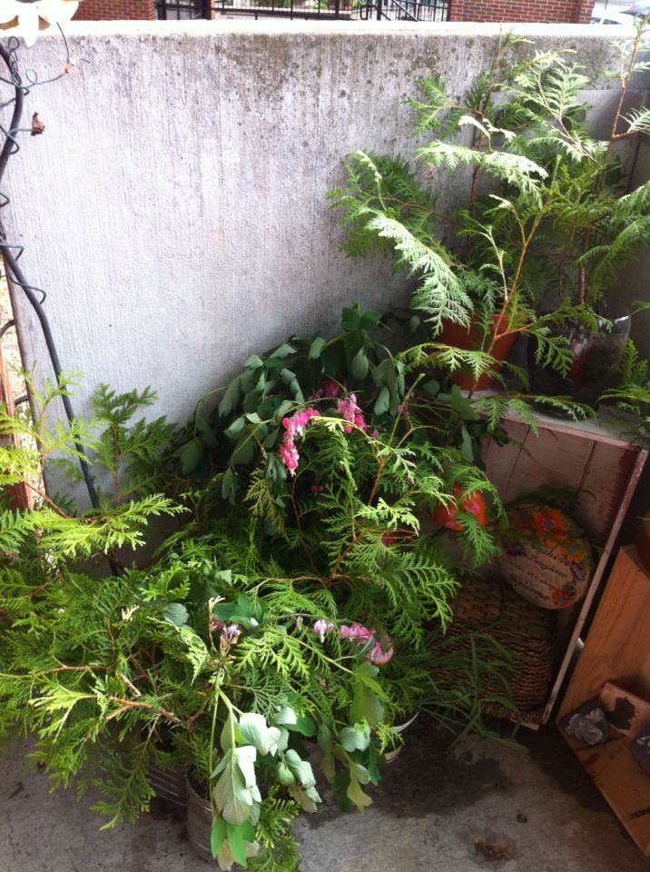 I cleaned up this corner and added some bleeding hearts today