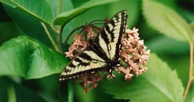 Cómo saber el género de una mariposa. La mariposa es un insecto volador que comienza como una oruga y pasa por el proceso de metamorfosis para convertirse en una mariposa. Hay unas 24.000 especies de mariposa, variando en tamaño desde 1/8 pulgadas (0,31 centímetros) a 12 pulgadas (30,48 centímetros). Ingieren líquidos como néctar y agua para su sustento a través de un instrumento ...