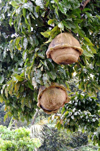Brazil nut pods on the tree