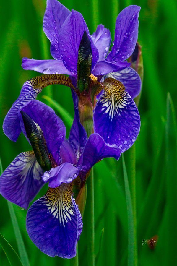 Siberian Iris | Purple Siberian Iris by Eti Reid~~