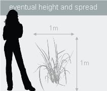 Buy pheasant's tail grass (syn. Stipa arundinacea ) Anemanthele lessoniana: Delivery by Crocus