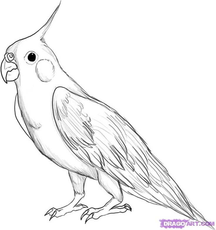 How to Draw A Cockatiel, Step by Step, Birds, Animals, FREE Online ...