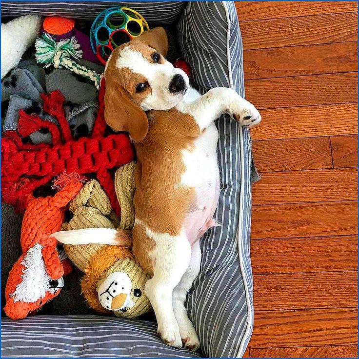cute beagle puppy photo