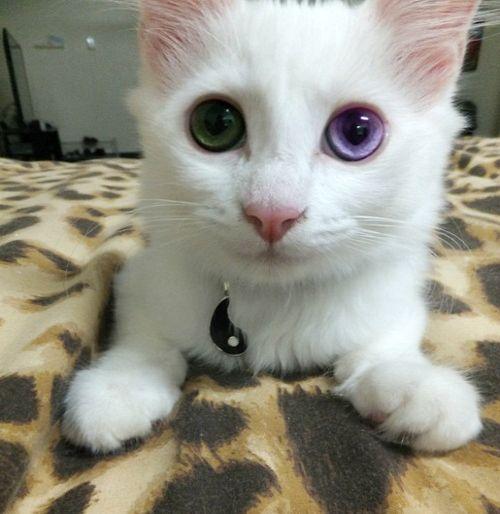 heterocromia gatos tumblr - Pesquisa Google