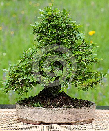 Pouco olmo chinês como a árvore dos bonsais