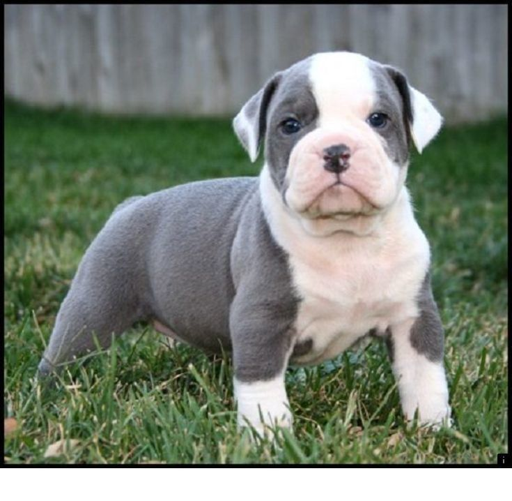 Look At The Webpage To Read More On American Bulldog Puppies