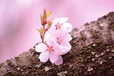 2014.4.18~19 高遠 天下第一の桜と、立山 雪の大谷ウォーク 1 (辰野・箕輪・高遠) - 旅行のクチコミサイト フォートラベル