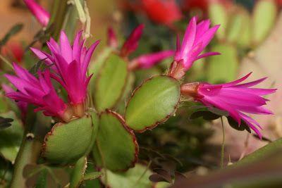 Notas de campo y jardín: Cactus de Pascua