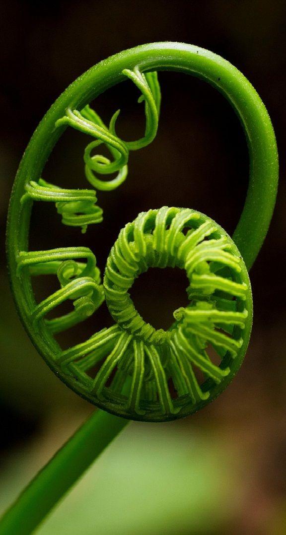 The Koru, Maori symbol of creation - Aoteroa