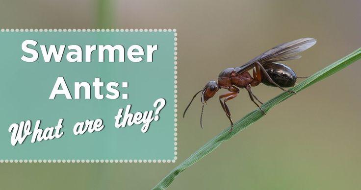 Swarmer Ants- Identify Winged Termites vs. Flying Ants