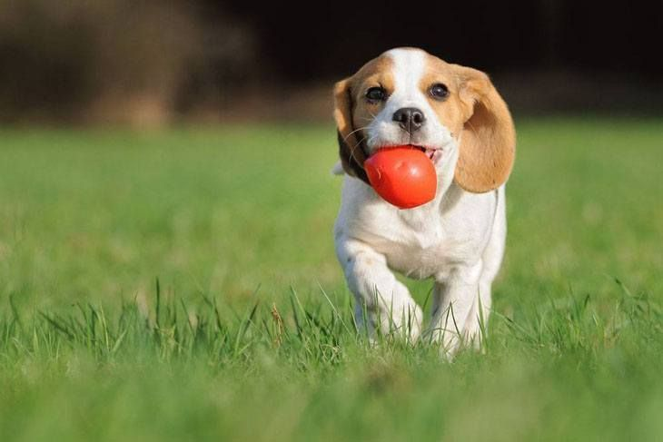 Beagle Names Unique Ideas For Your Male Or Female Dog Beagle