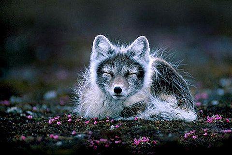 arctic fox - winterizing