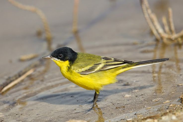Eastern Black-headed Yellow Wagtail melanogrisea by Jem Babbington…