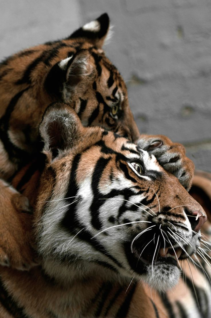 Cute Pets Wallpaper Hd Getting Emotional Over Pictures Of Tigers No Big Deal