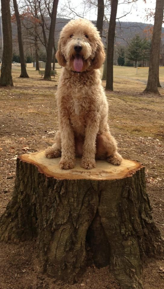 35 best images about goldendoodle haircuts on pinterest 35 best goldendoodle haircuts images on pinterest