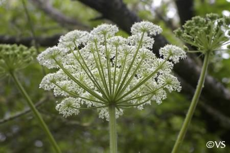 "Heracleum lanatum ""cow parsnip"" native | California Flora Nursery"